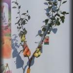 jabłoń 2 szczepienia