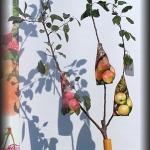 jabłoń 3 szczepienia